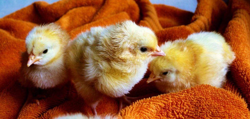 staunton approves backyard chickens