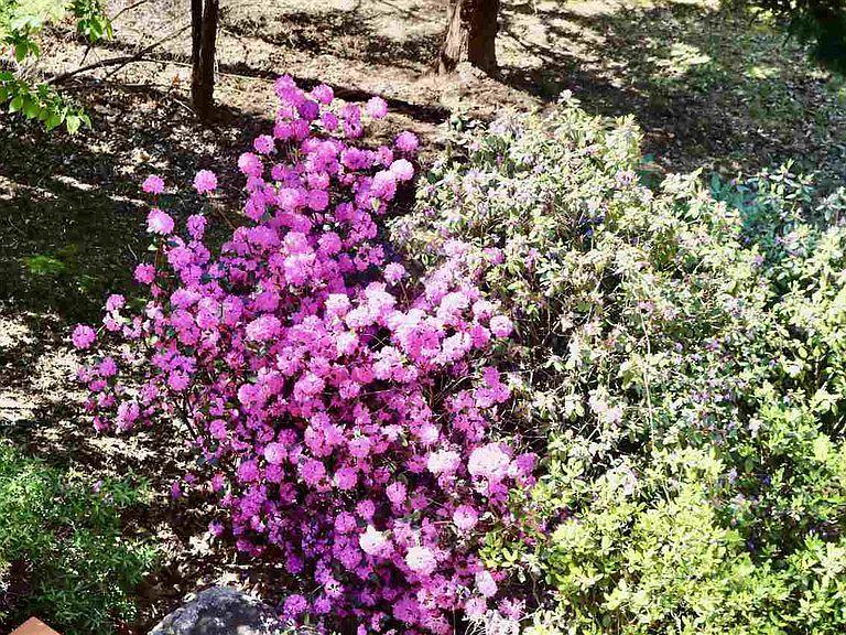 cotw around around, round top flowering bushes